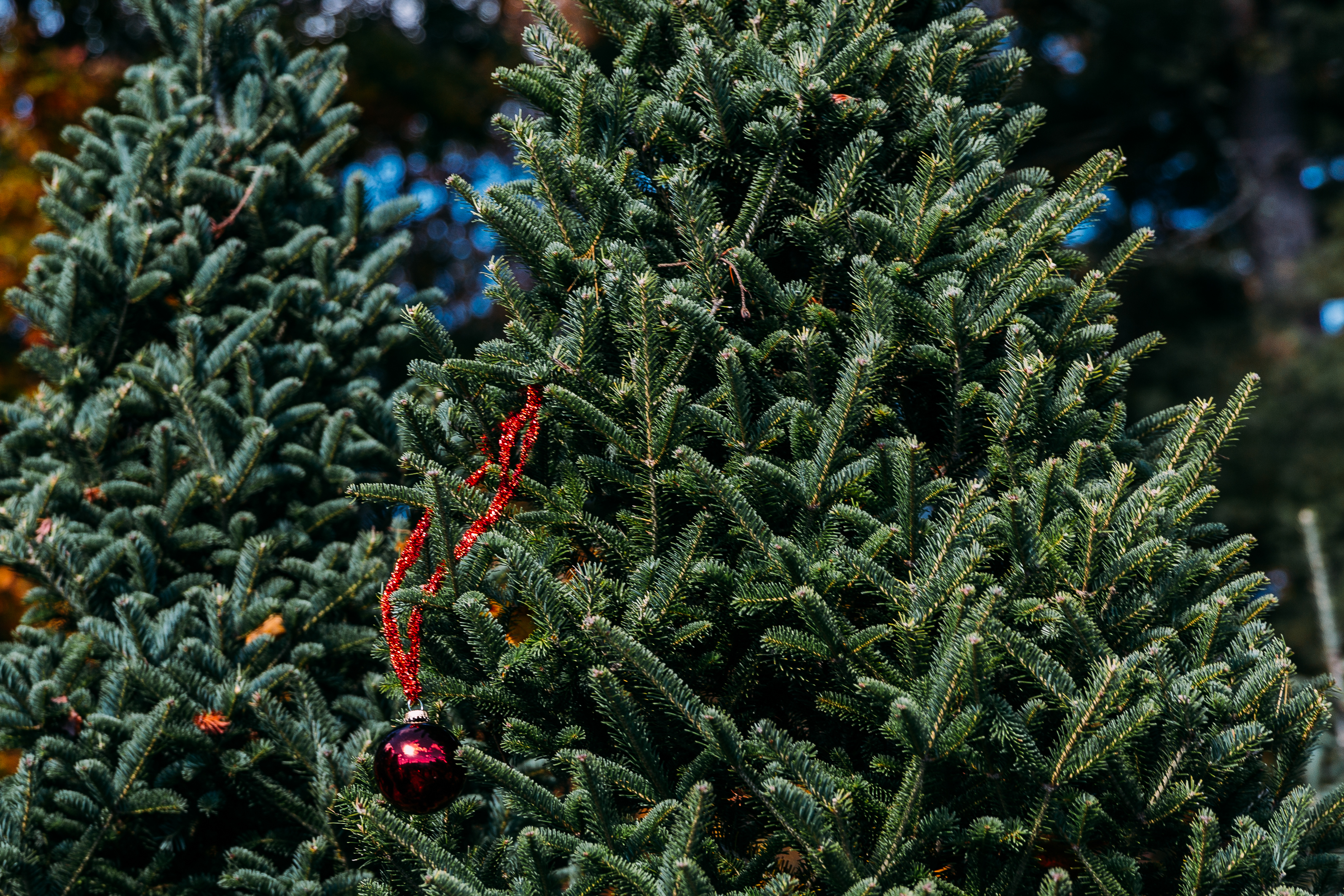 Red ornament on bare Christmas tree