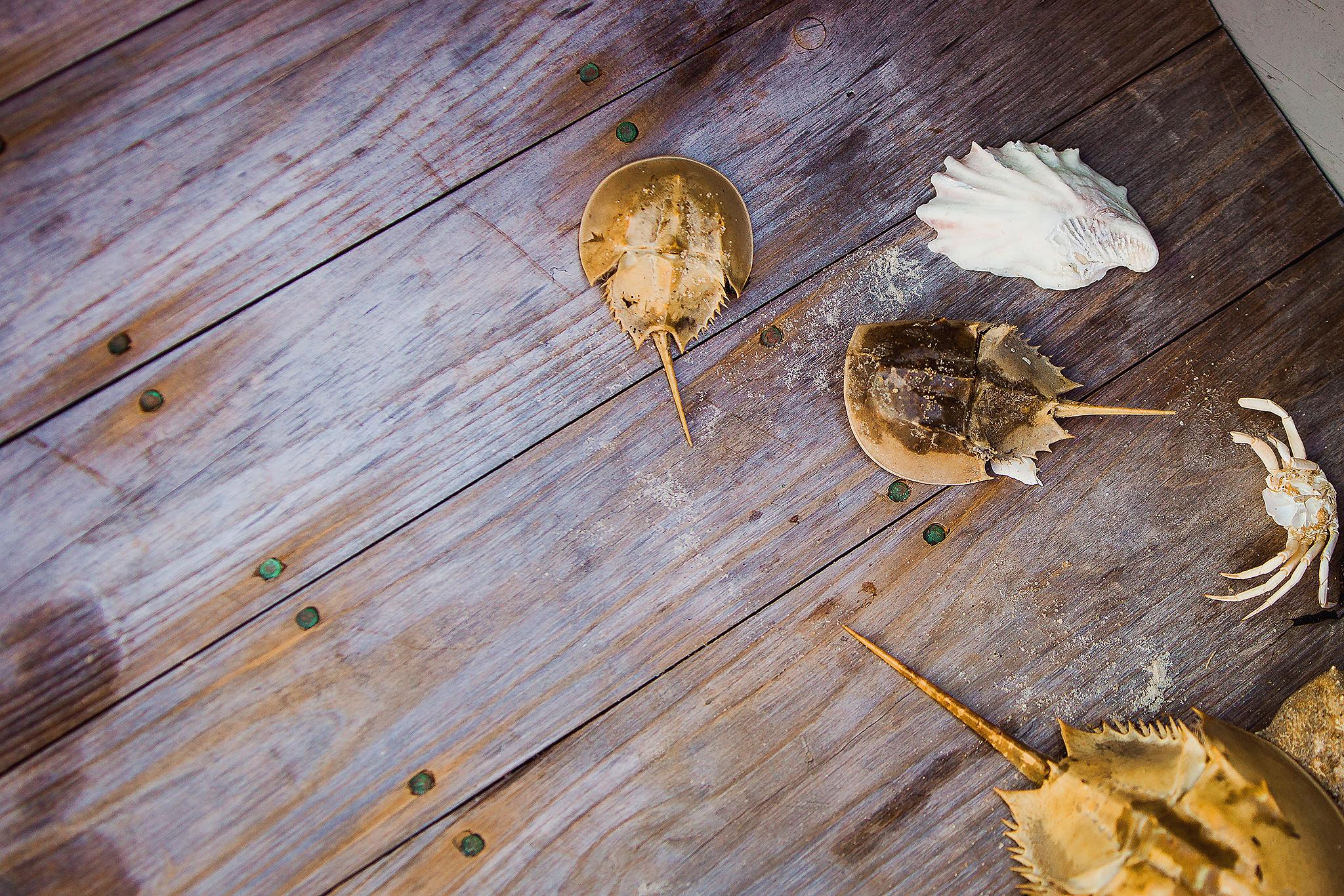 horseshoe crabs on floor of wooden boat